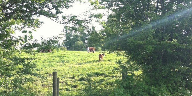 Cows in a pasture - copyright Shelly Wutke