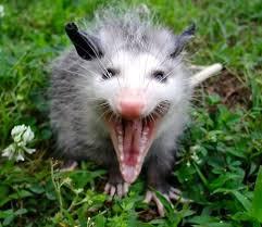 opossum-under-farmhouse