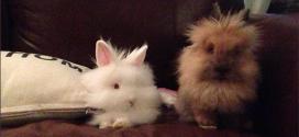 Rabbits as pets